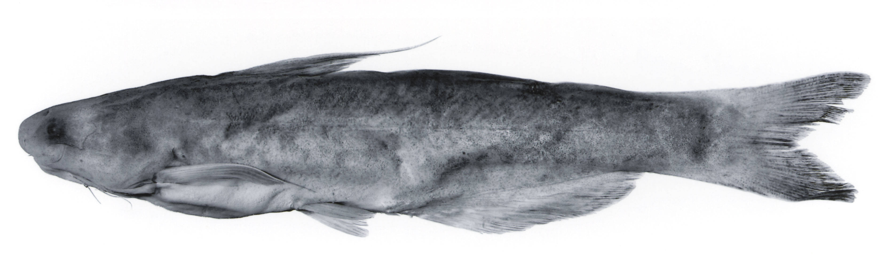 Image of <i>Pseudocetopsis plumbeus motatanensis</i>