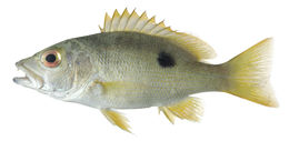Image of Black spot red snapper