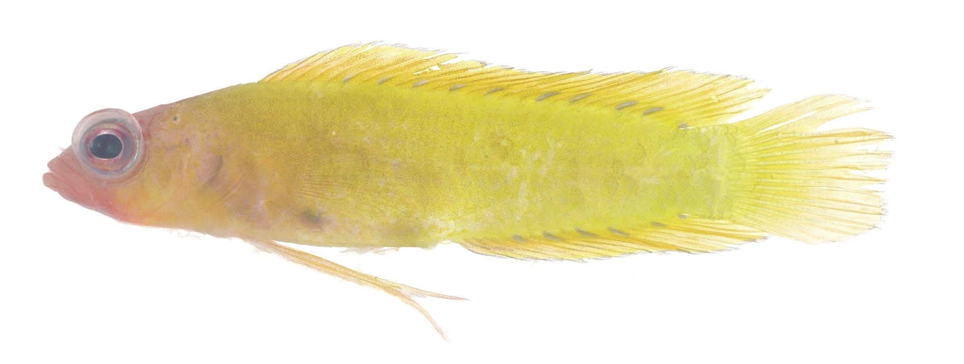 Image of Large-scaled dottyback