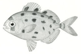 Image of spotted driftfish