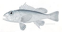 Image of Longspine scorpionfish