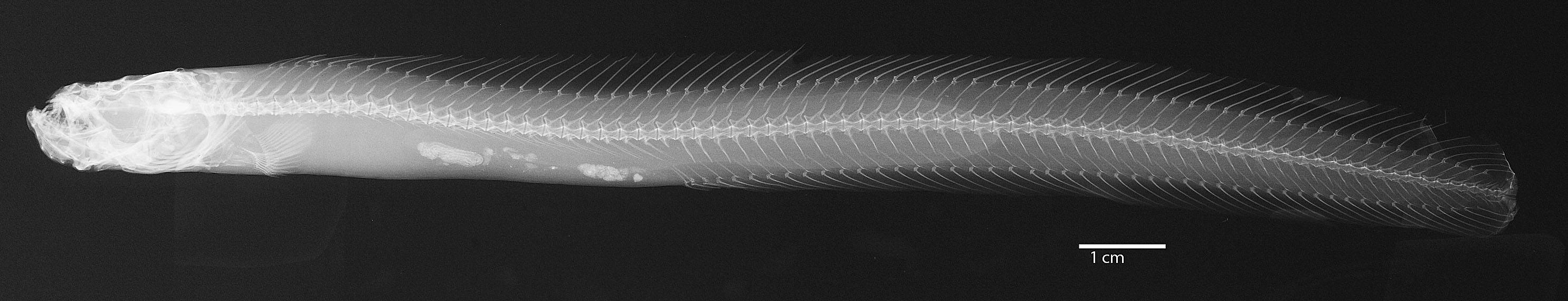 Image of dwarf wrymouth