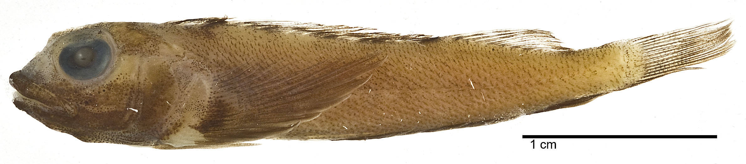 Image of Scarf triplefin