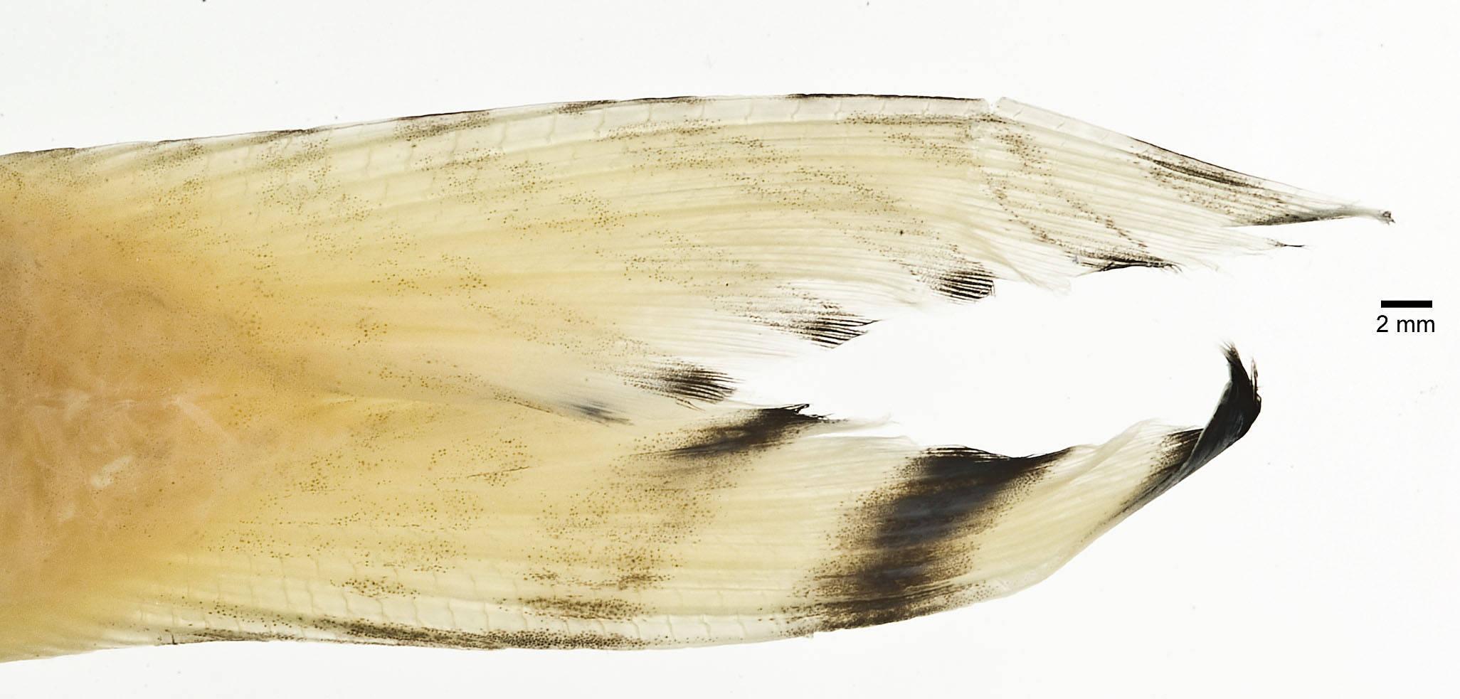 Image of Band-tail goatfish