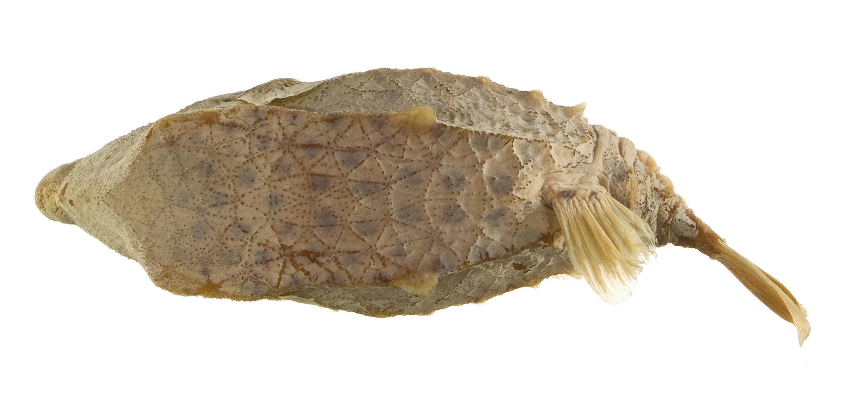 Image of Basketfish