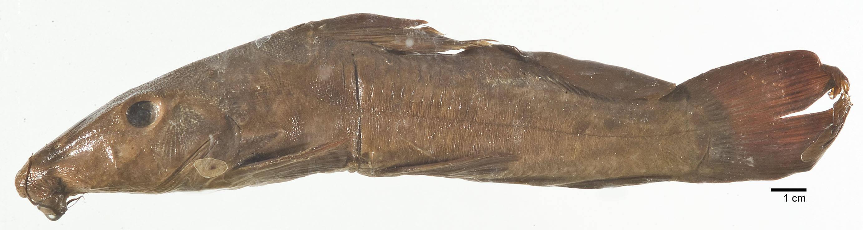 Image of <i>Auchenoglanis biscutatus</i> (Geoffroy Saint-Hilaire 1809)