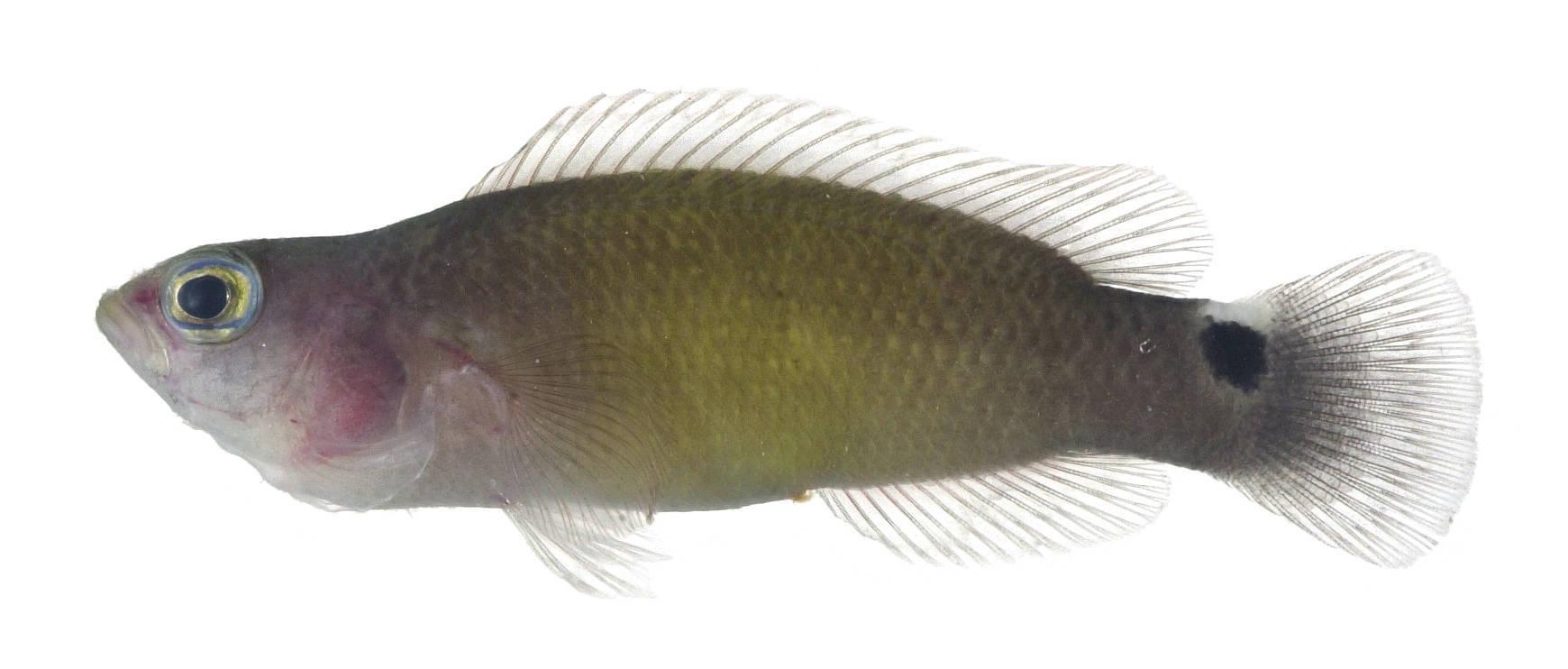 Image of <i>Pseudochromis jamesi</i>