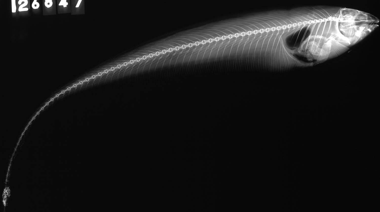 Image of Banded pygmy sunfish