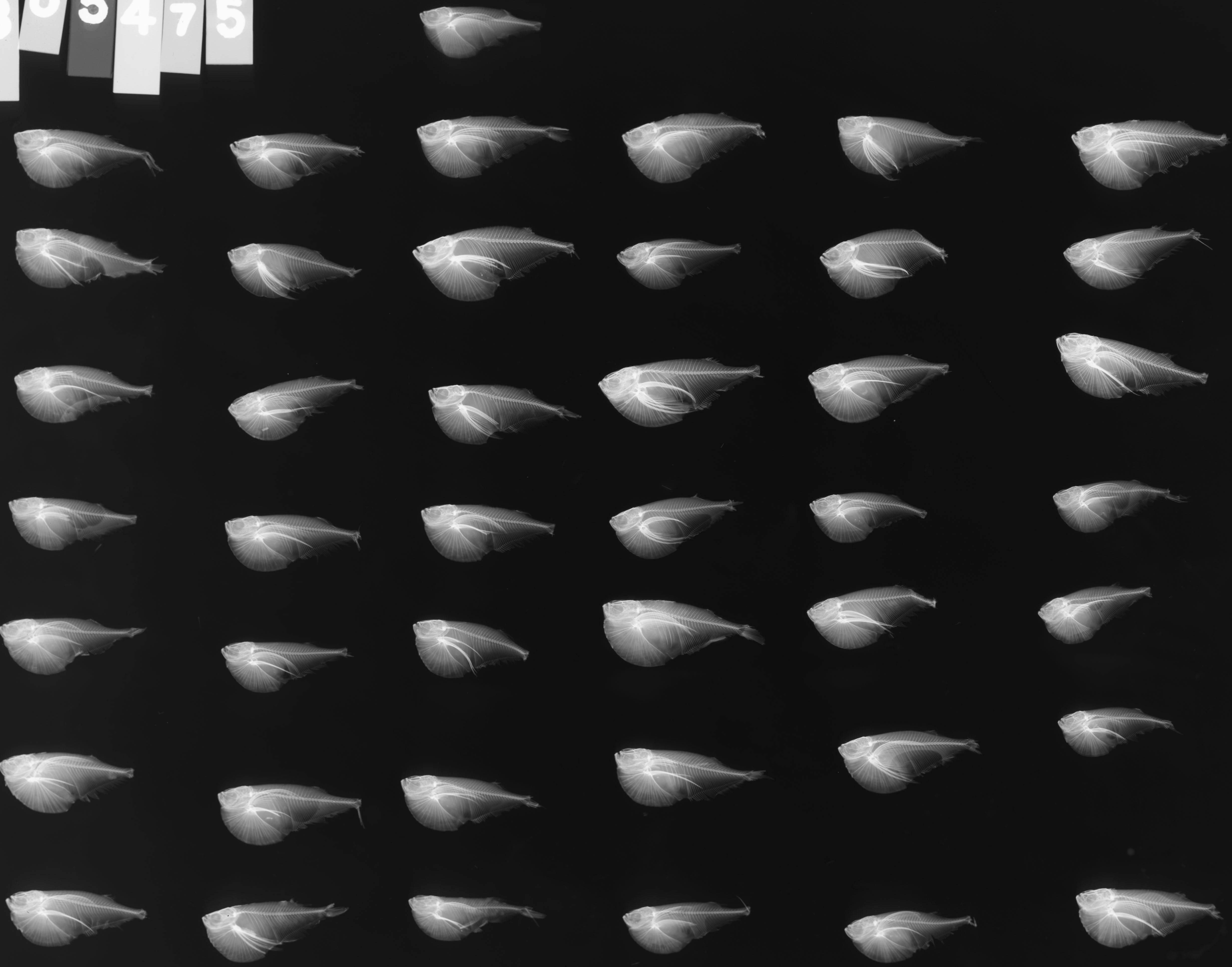 Image of Dwarf hatchetfish