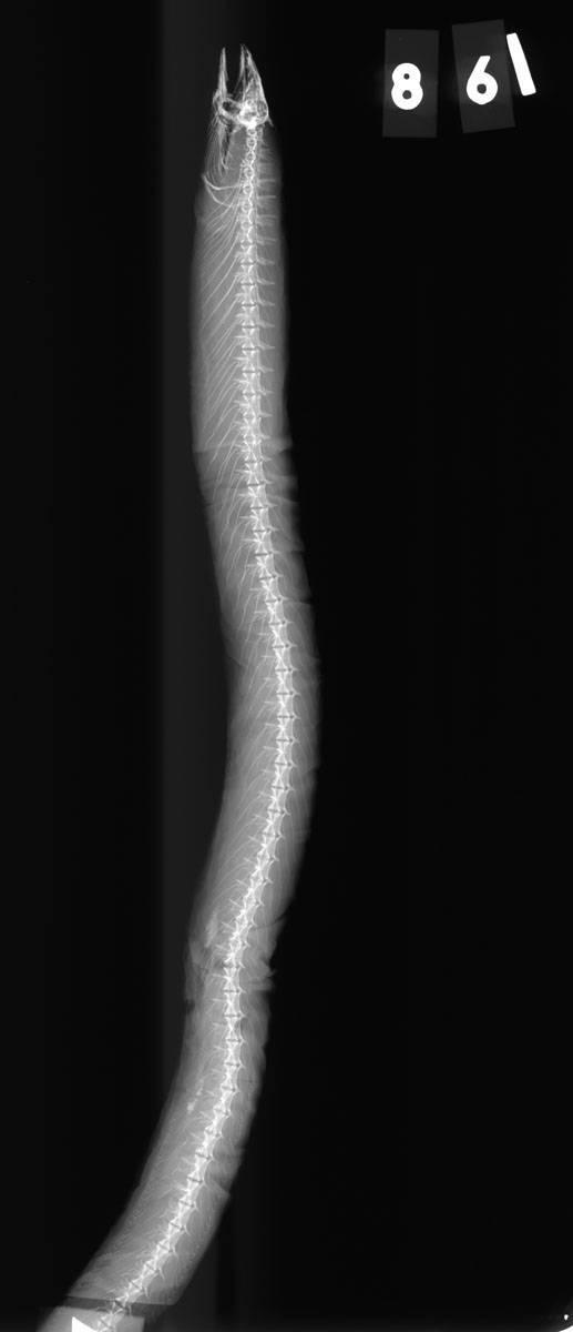 Image of Ridged Eel