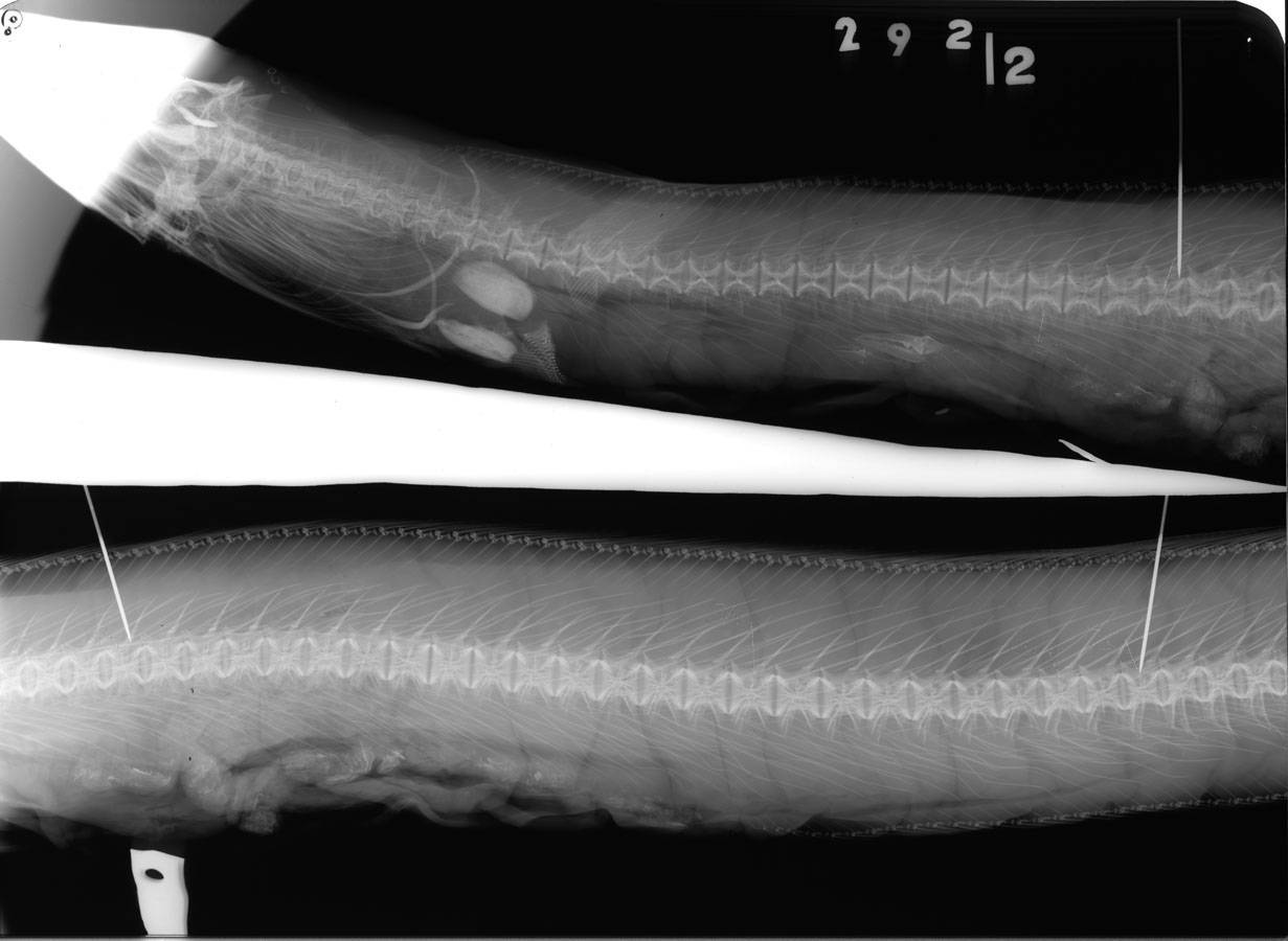 Image of Conehead eel