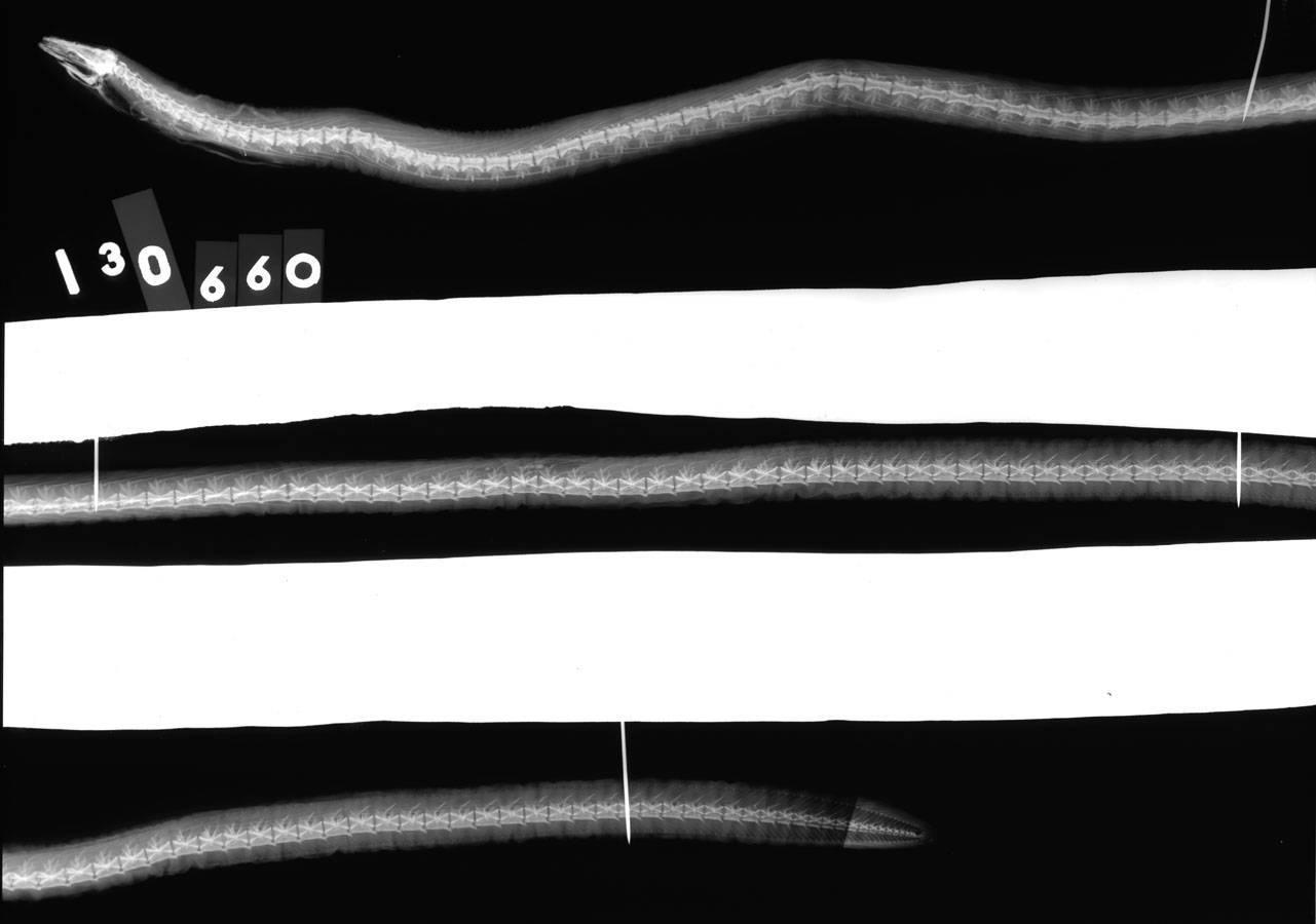 Image of Penn's thrush eel