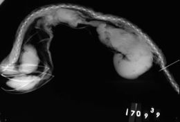 Image of <i>Saccopharynx harrisoni</i> Beebe 1932
