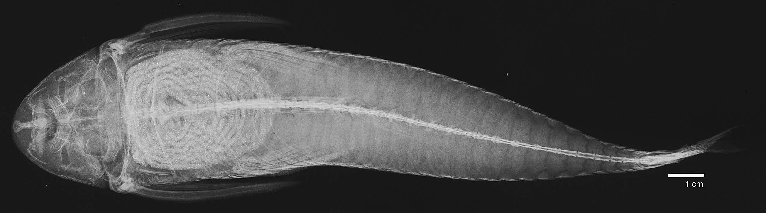 Image of <i>Harttia loricariformis</i> Steindachner 1877