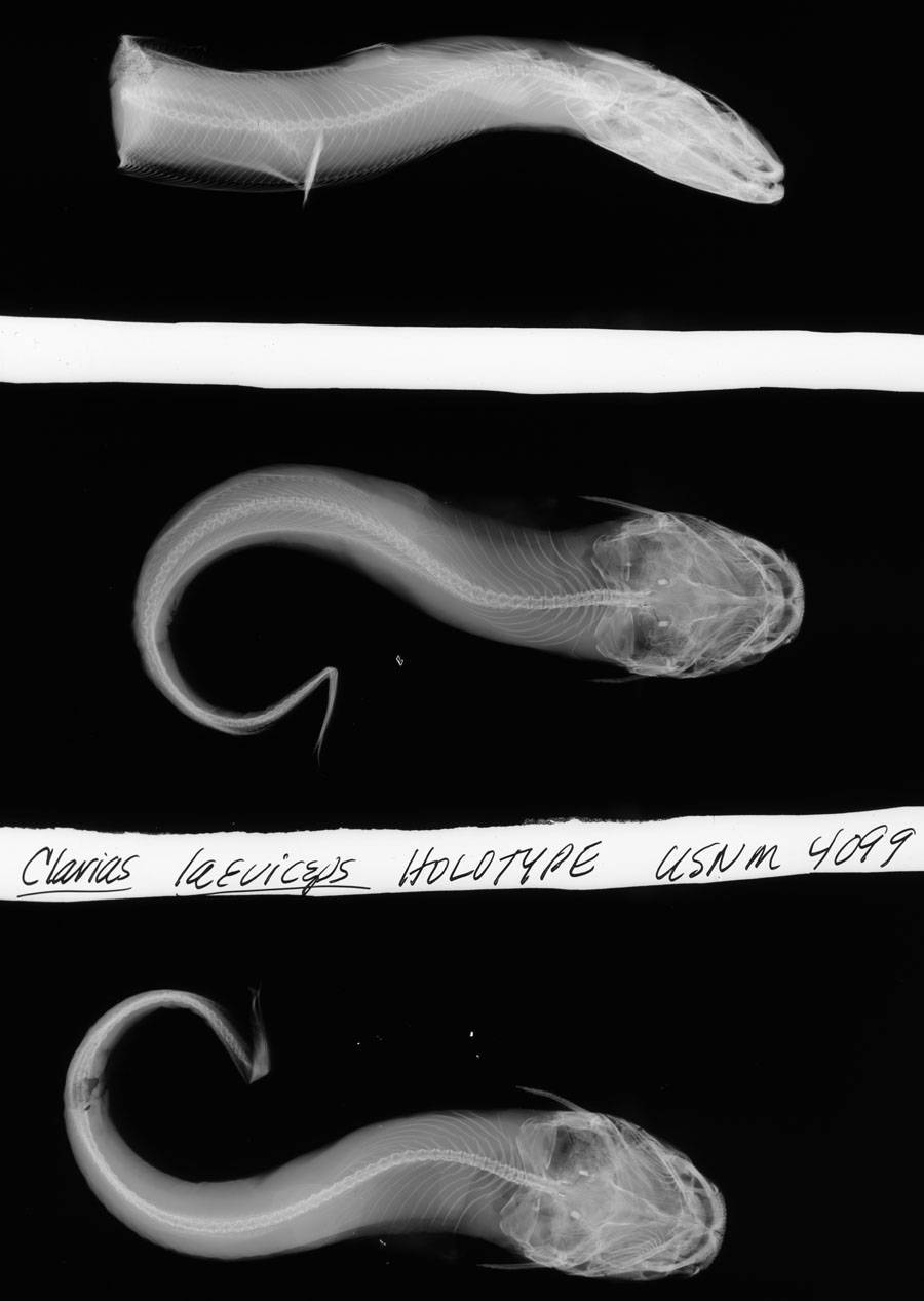 Image of <i>Clarias laeviceps</i> Gill 1862