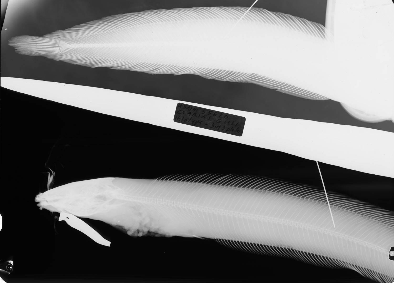 Image of Slender Walking Catfish