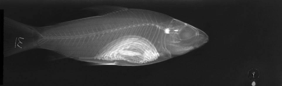 Image of <i>Steindachnerina pupula</i> Vari 1991