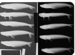 Image of <i>Epapterus blohmi</i> Vari, Jewett, Taphorn & Gilbert 1984