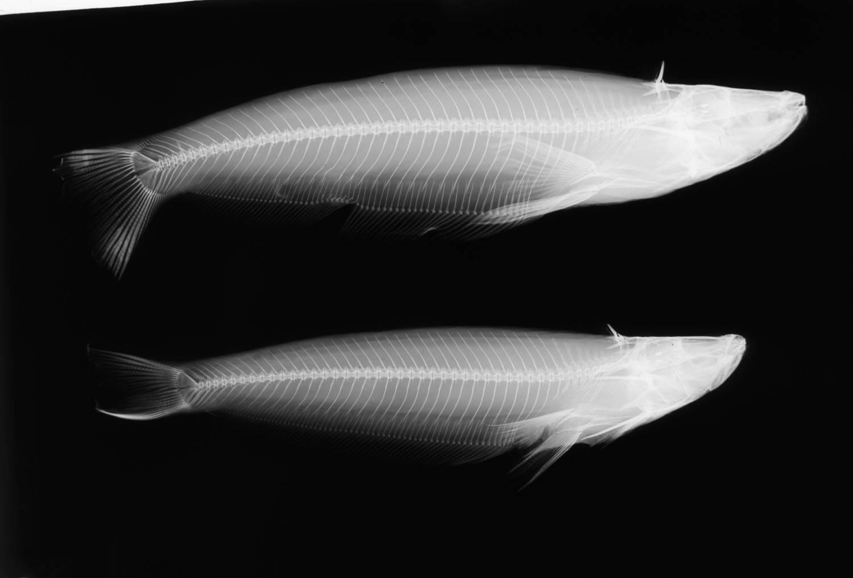 Image of <i>Epapterus dispilurus</i> Cope 1878
