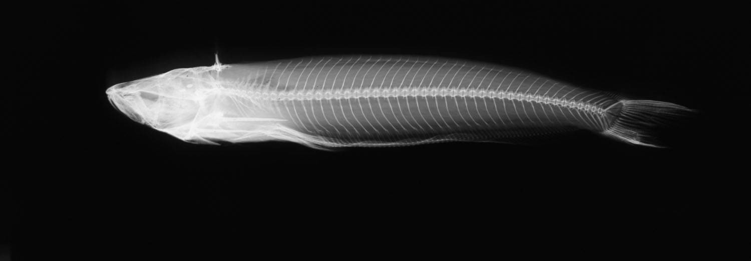 Image of <i>Epapterus dispilurus</i> Cope 1878