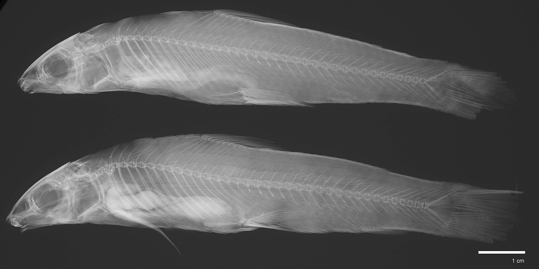 Image of <i>Apareidon affinis</i>