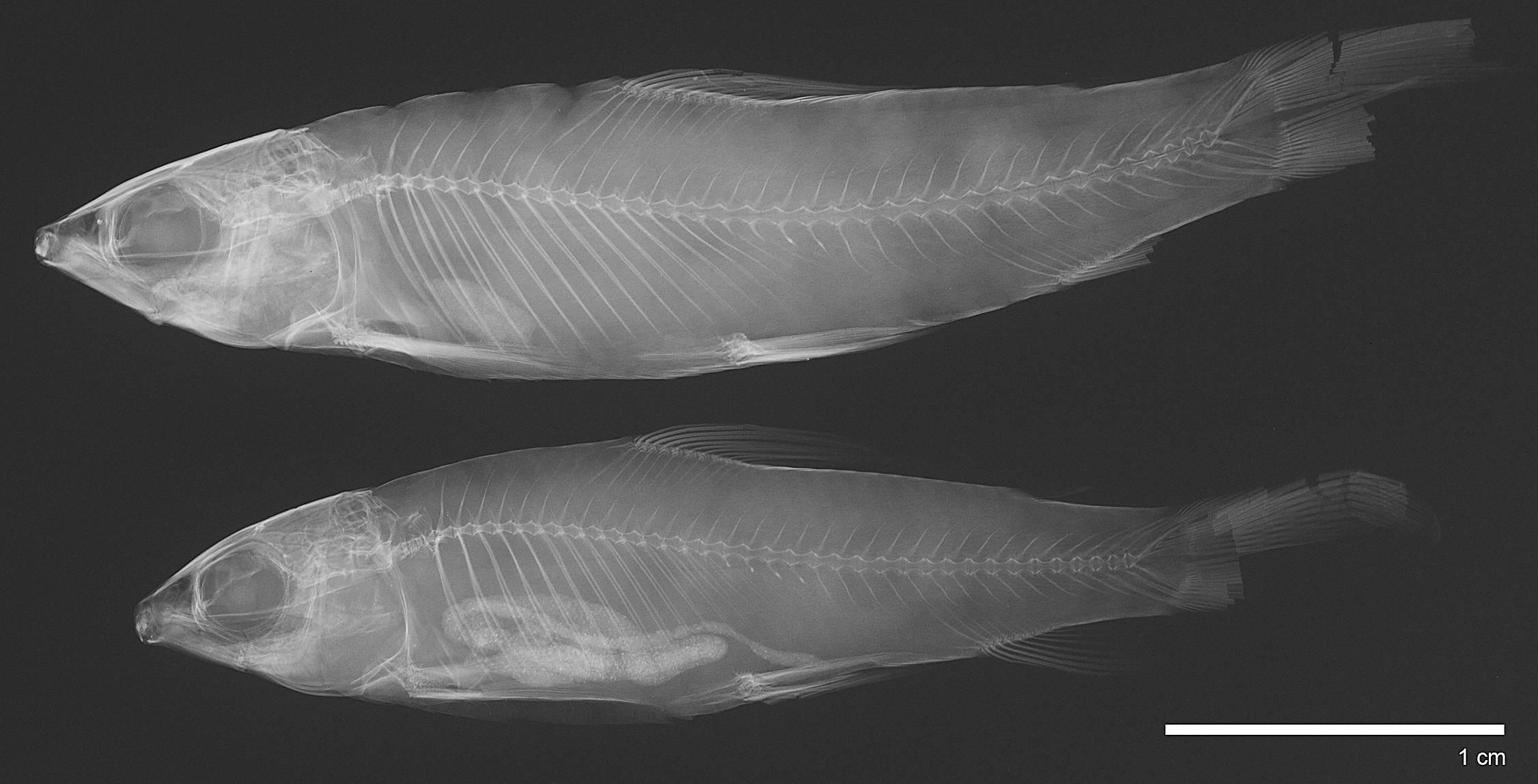 Image of <i>Saccodon terminalis</i> (Eigenmann & Henn 1914)