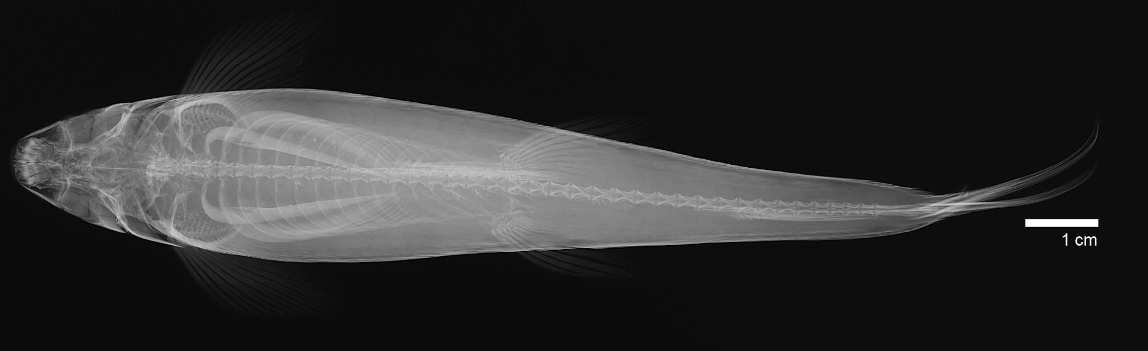Image of <i>Saccodon caucae</i> Schultz & Miles