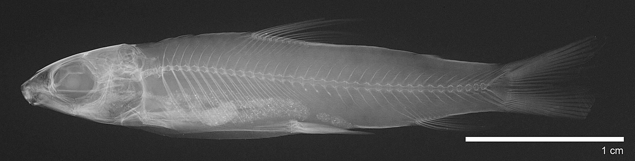 Image of <i>Saccodon wagneri</i> Kner 1863