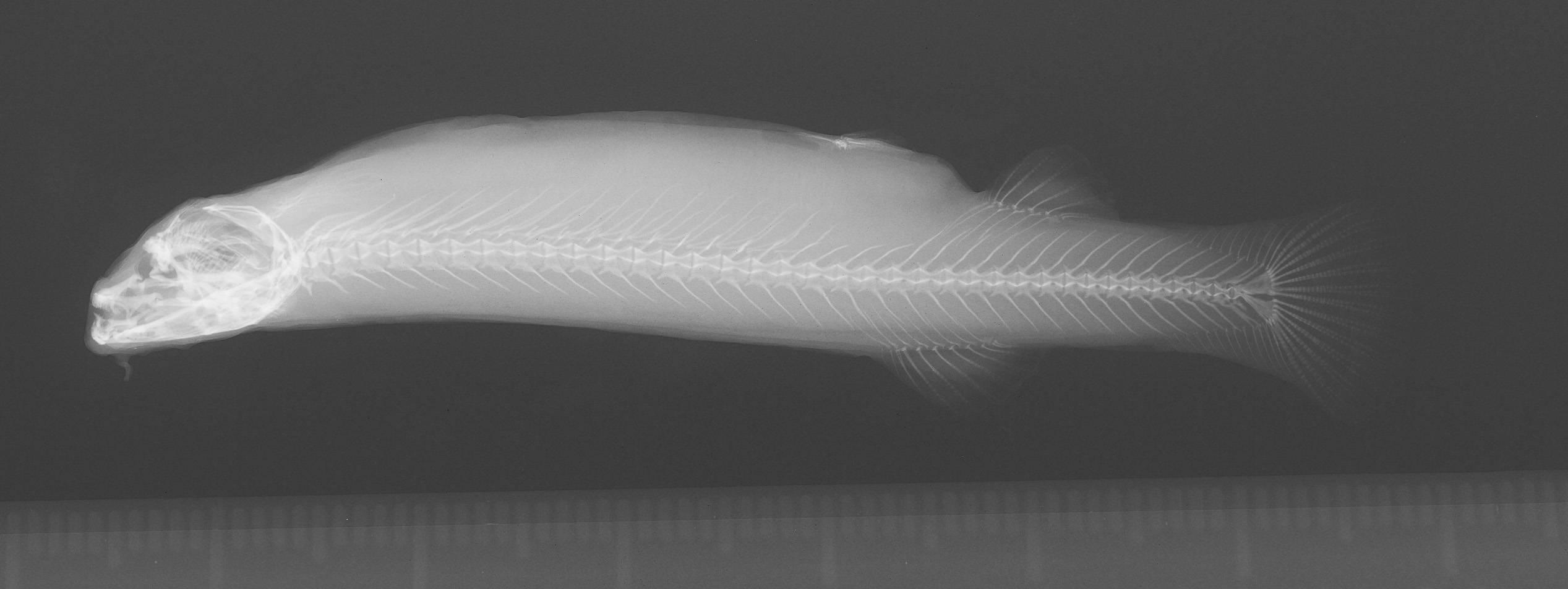 Image of <i>Pygidium mondolfi</i>