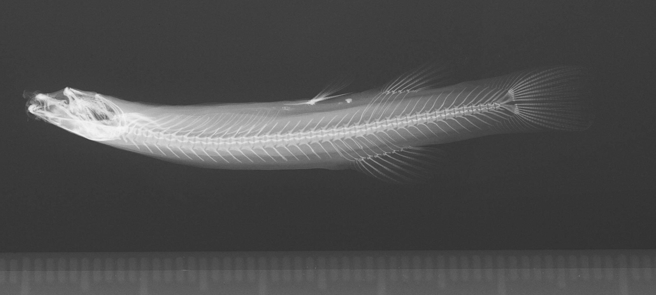 Image of <i>Pygidium banneaui maracaiboensis</i>