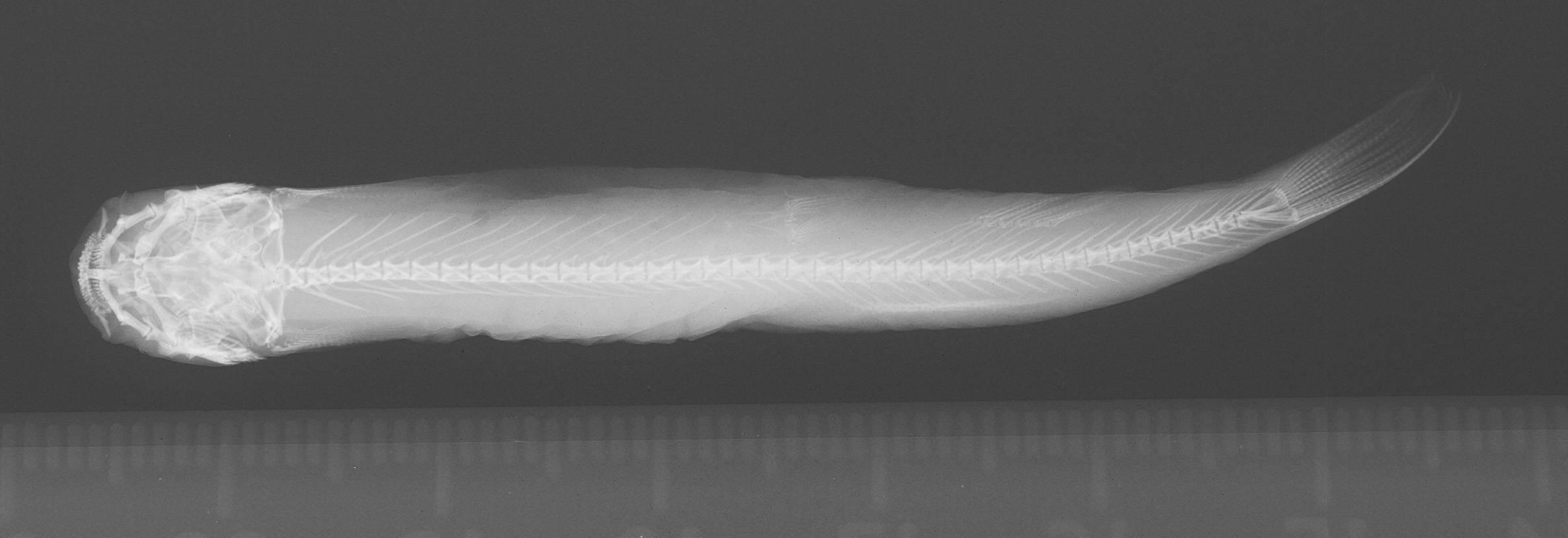 Image of <i>Trichomycterus meridae</i> Regan 1903