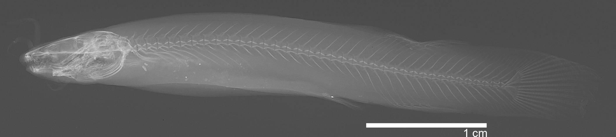 Image of <i>Trichomycterus laticeps</i>