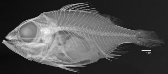 Image of <i>Ostracoberyx dorygenys</i> Fowler 1934