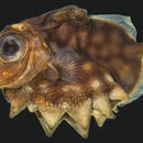 Image of <i>Oreosoma atlanticum</i> Cuvier 1829