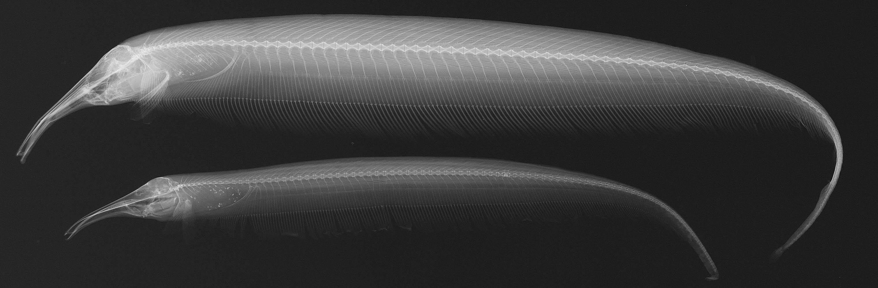 Image of Retzer's Elephant-nose Knifefish