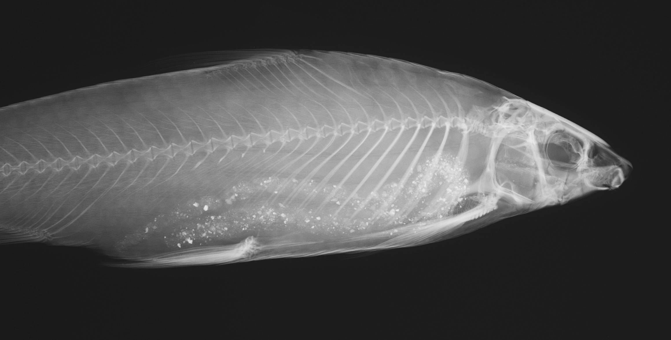 Image of <i>Parodon suborbitalis</i> Valenciennes 1850