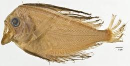 Image of <i>Platyberyx andriashevi</i> (Kukuev, Parin & Trunov 2012)