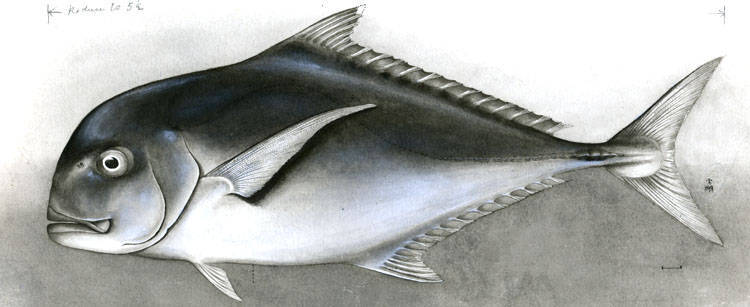 Image of African Pompano