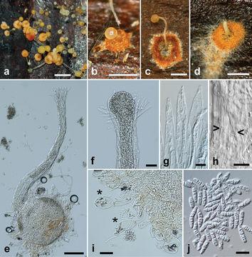 Image of <i>Pycnopulvinus aurantiacus</i> Toome & Aime 2014