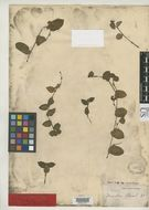 Image of <i>Sauvallea blainii</i> C. Wright
