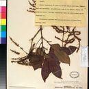 Image of <i>Crypteronia paniculata</i> Bl.