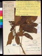 Image of <i>Dimocarpus longan</i> ssp. <i>malesianus</i> Leenhouts