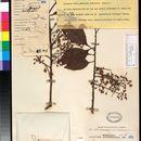 Image of <i>Elaeocarpus calomala</i> Merrill