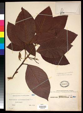 Image of <i>Dipterocarpus gracilis</i> Bl.