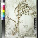 Image of false monkeyflower