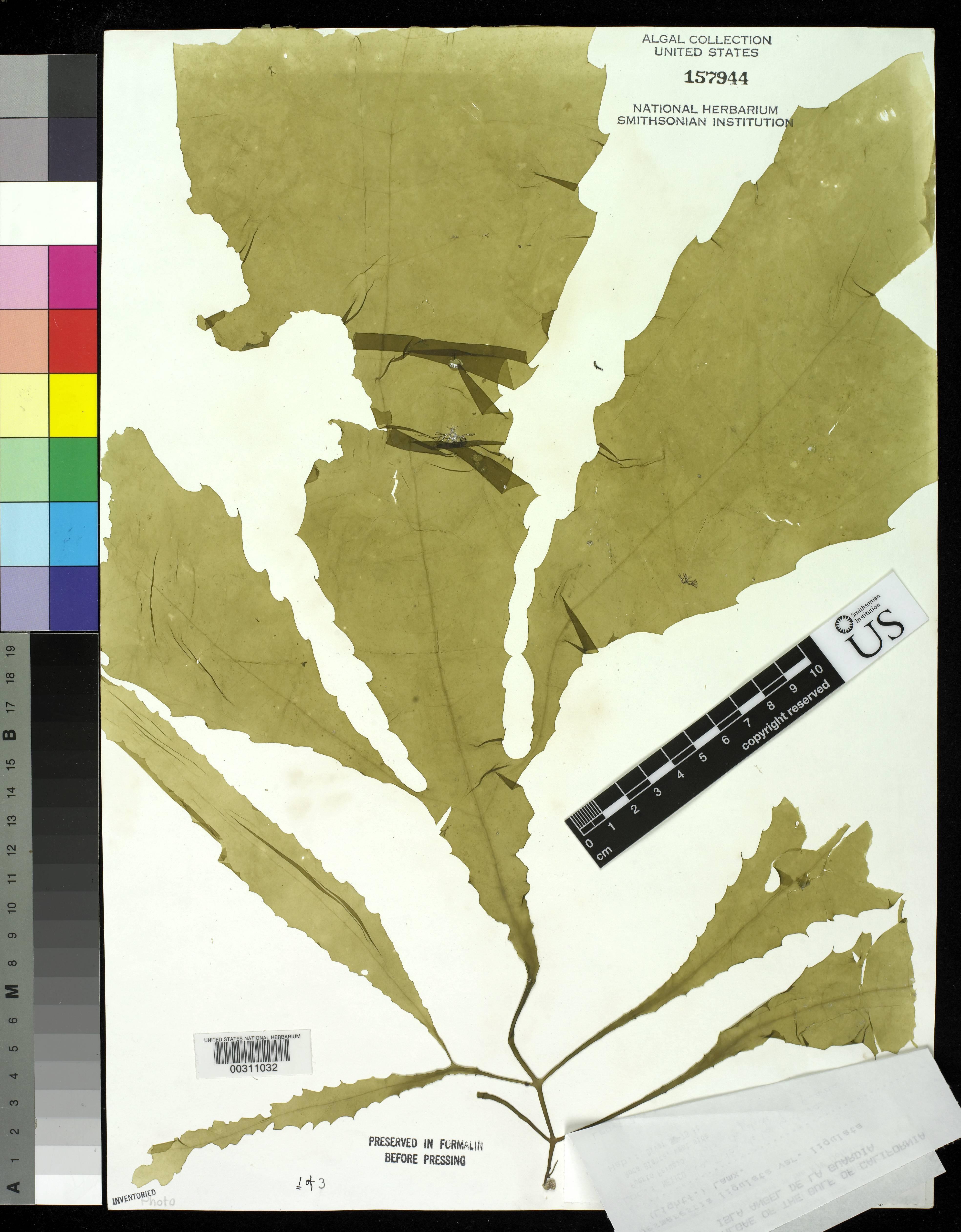 Image of <i>Desmarestia <i>ligulata</i></i> ssp. ligulata
