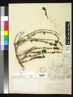 Image of California seablite