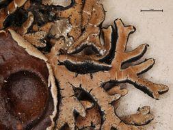 Image of <i>Anzia leucobatoides</i> (Nyl.) Zahlbr.