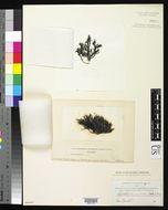Image of <i>Scytothamnus australis</i>