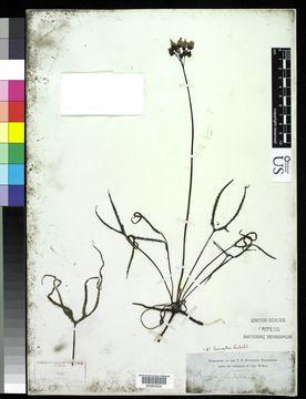 Image of <i>Drosera binata</i> Labill.